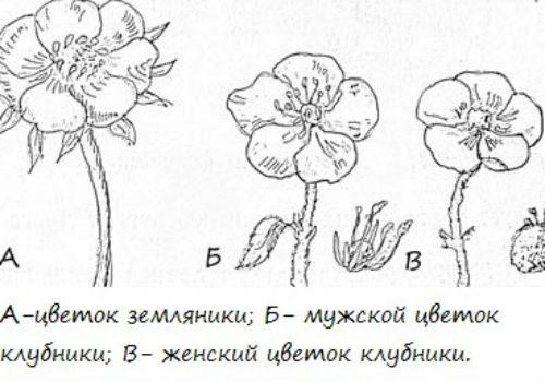 различие мужских и женских кустов клубники
