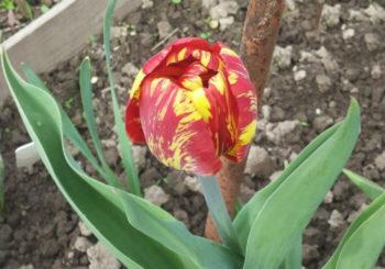 когда выкапывать тюльпаны после цветения
