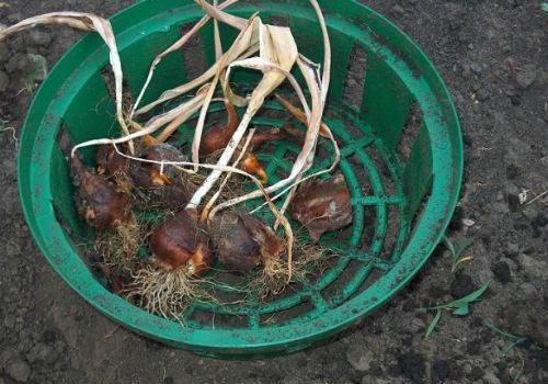 как правильно выкапывать луковицы