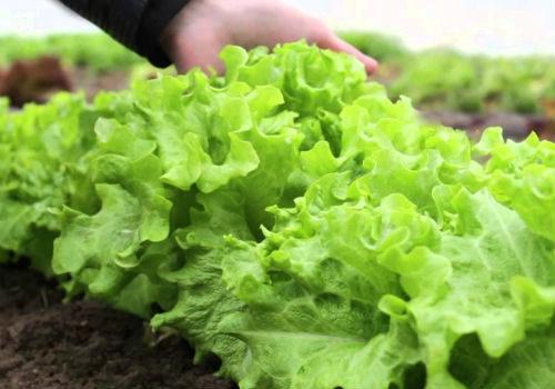 загущенная посадка листьев салата