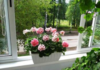 почему не цветет герань комнатная