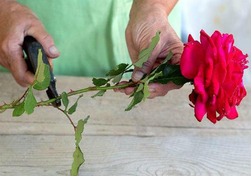 какие розы из букета можно укоренить