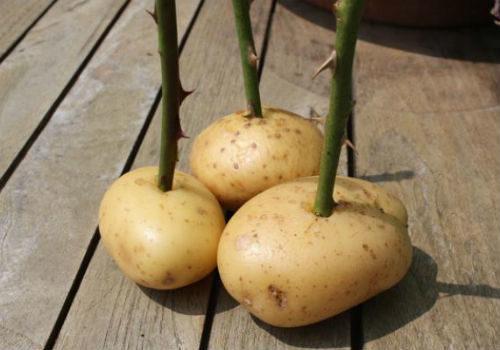 розы в картошке