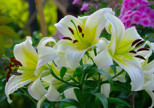 Домашняя лилия в горшке: фото, как 99