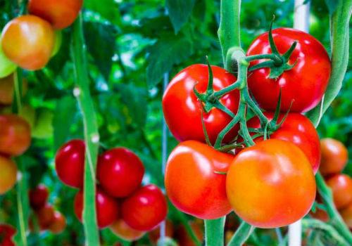 посадка томатов в сибири