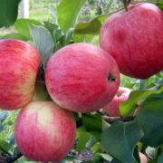 яблоня штрейфлинг