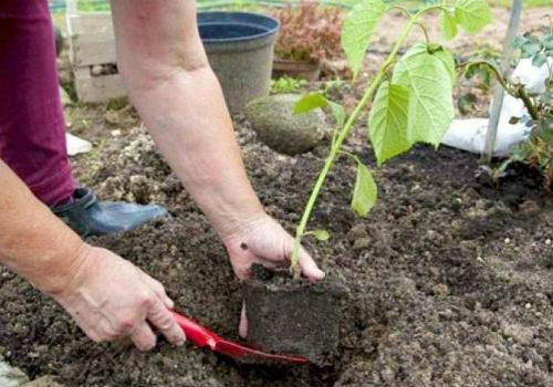 как посадить гортензию метельчатую