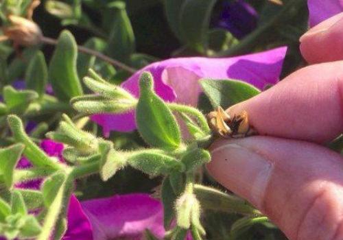 когда собирать семена петунии