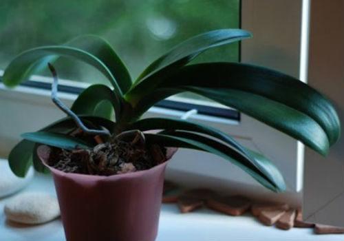 побеги у орхидеи