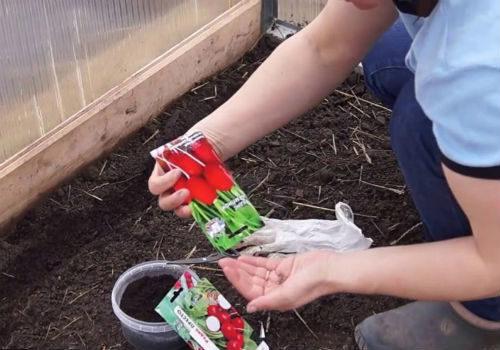 сорта для посадки редиса под зиму