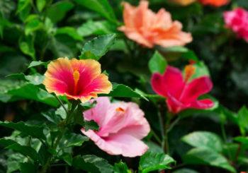 как укрыть гибискус садовый на зиму
