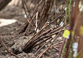 как прикопать саженцы до весны