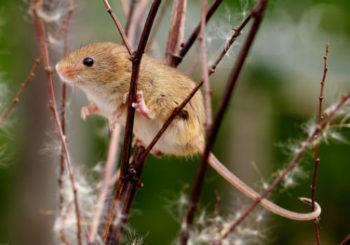 как защитить яблоню от грызунов зимой