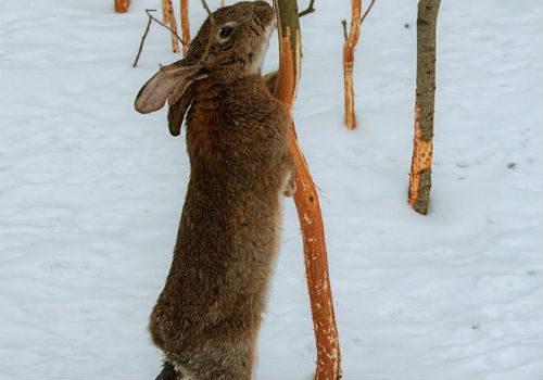 защита яблони от зайцев