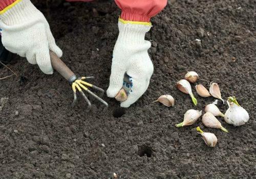 особенности посадки чеснока под зиму