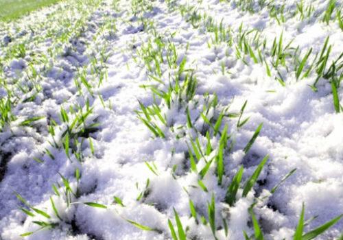 рожь под снегом