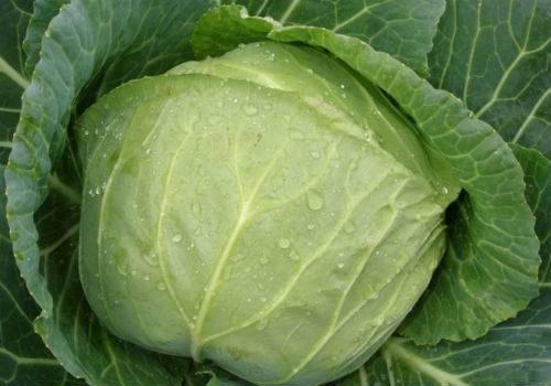 выбираем капусту для засолки