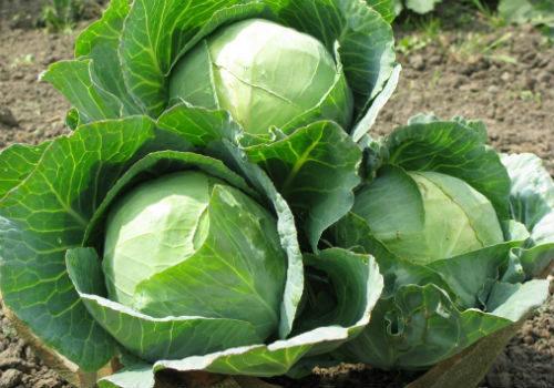 как выбрать сорт капусты для засолки