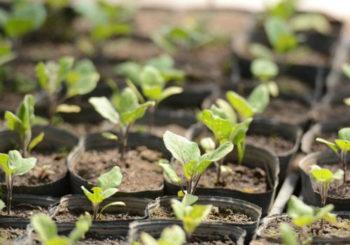 посев баклажан на рассаду