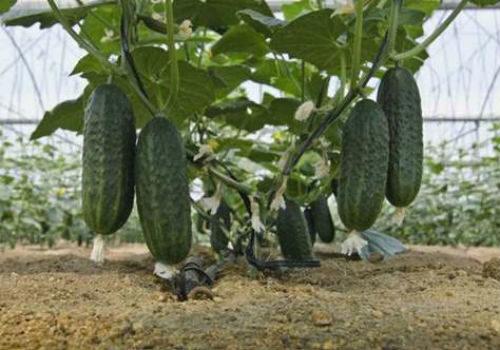 богатый урожай огурцов