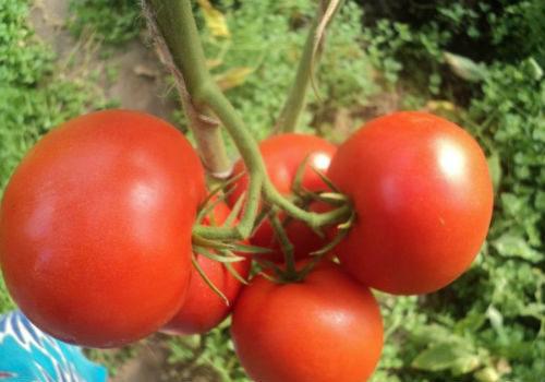 описания томатов евпатор