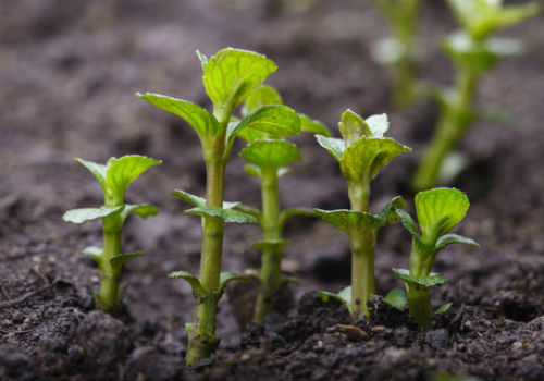 выращивание порослью