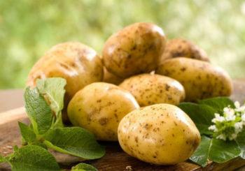 какие сорта картофеля не ест колорадский жук