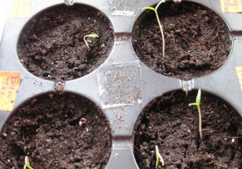 помидоры на рассаду в апреле