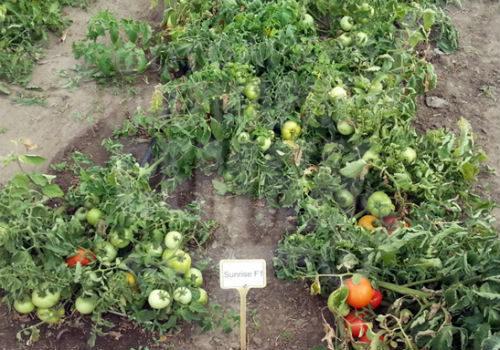 выращивание томатов санрайз