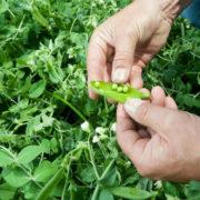 как сажать горох в открытый грунт семенами
