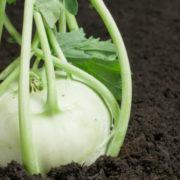 кольраби выращивание