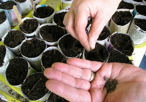 кольраби выращивание семенами