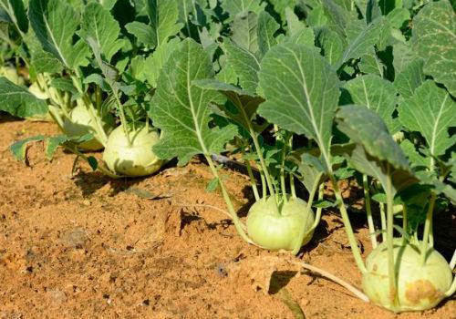 урожай кольраби