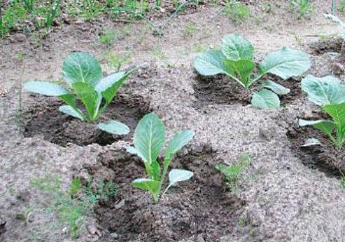 выращивание на грядке