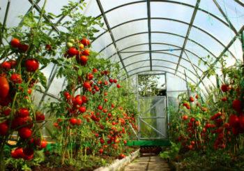 посадка томатов в теплице из поликарбоната