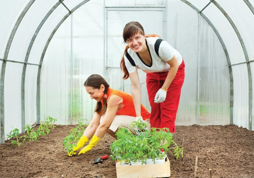сорта томатов для выращивания