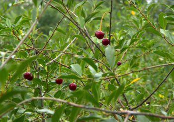вишня цветет но не плодоносит