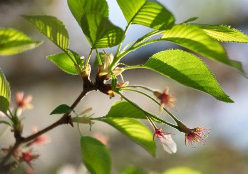 морозы вишня цветет