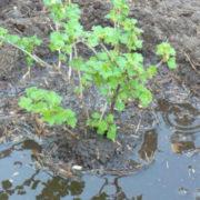 как посадить крыжовник весной саженцами