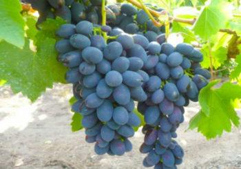 виноград Надежда Азос