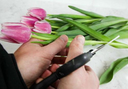 как срезать тюльпаны