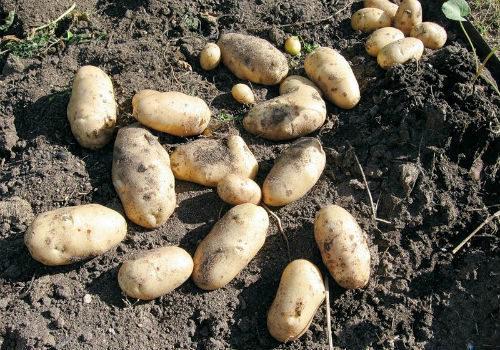 нематода картофеля