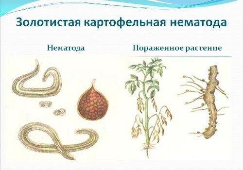 картофельная нематода разновидности