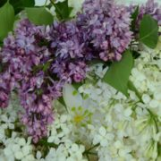 Цветы сирени для приготовления настойки