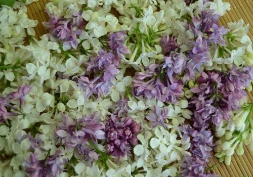 Лепестки цветов сирени